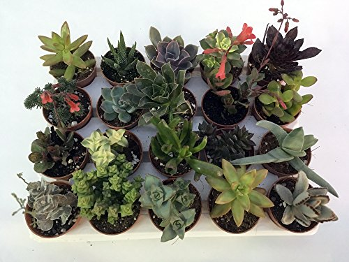 Piante grasse vere assortite set n. 20 in vaso cm. 5,5 tutte succulente (senza spine).