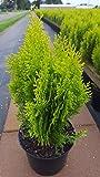 gelber orientalischer Zwerg - Lebensbaum Thuja orientalis Aurea Nana 20-30 cm hoch im 2 Liter Pflanzcontainer