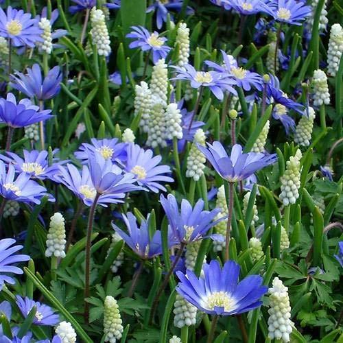Kleine Traubenhyazinthe und blaue Anemone - 60 blumenzwiebeln