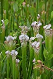 Weiße Schlauchpflanze 5 Samen (Sarracenia Leucophylla) Pitcher White