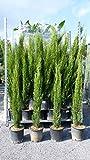 3 x Mittelmeerzypresse Cupressus Sempervirens 'Totem' 130-150 cm Toskana Zypresse