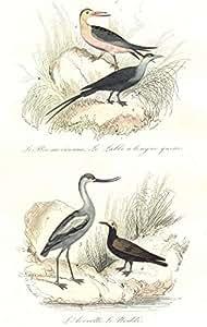 BIRDS:Sazzor Beak,Black Tern,Avoset,Noddy;Bec-en-ciseaux,Noddi.BUFFON;1841