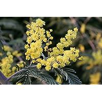 Silber-Akazie (Acacia dealbata) 20 Samen -Falsche Mimose-