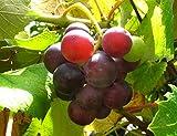 Erdbeertraube Wein Kletterpflanze blau-violette Früchte süß-aromatisch im Geschmack 60-100 cm im 3,5 Liter Topf Weinrebe selbstfruchtbar 1 Pflanze