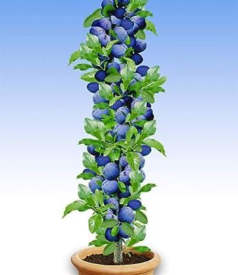 BALDUR-Garten Säulen-Pflaumen 'Black Amber', 1 Pflanze, Prunus domestica von Baldur-Garten - Du und dein Garten