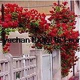 Rose rampicanti rose caratteristiche delle rose rampicanti for Bouganville in vaso prezzo