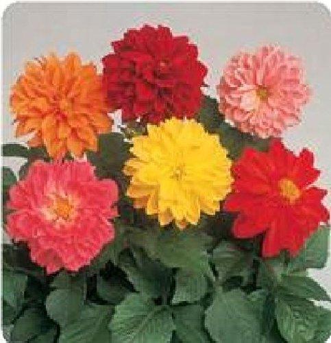 fiore-dalia-figaro-mix-25-semi