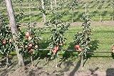 Mini-Apfelbäumchen Maloni® Sally® - 2jähriges Bäumchen im 10lt-Topf