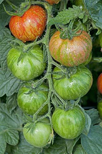 Portal Cool Gemüse - Tomate - Red Zebra Verbessert - 600 Seeds - Großpack