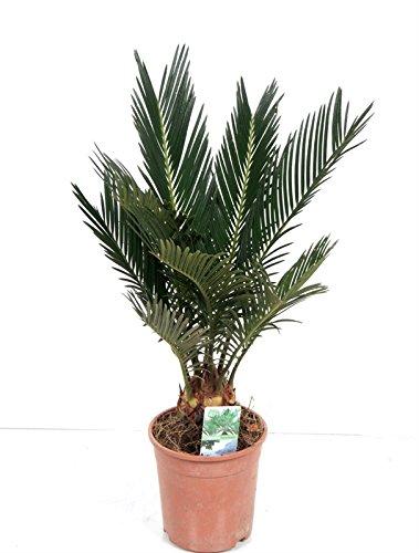 Palmfarn, (Cycas revolutaca), pflegeleichte Zimmerpalme, Sagopalme (ca. 40cm hoch, im 12cm Topf)