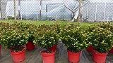 Stechpalme Ilex meserveae Formgehölz Bonsai Kugel Hecke Heckenpflanze Palme für Stechpalme Ilex meserveae Formgehölz Bonsai Kugel Hecke Heckenpflanze Palme