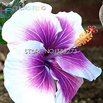 Auf Verkaufs-100pcs Hibiscus Samen 17kinds Hibiscus rosa-sinensis Blumensamen Hibiskus Baum Bonsai für Raum Blumen Topfpflanzen * - Hibiscus Topfpflanze