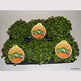 6 x Golliwoog - Futterpflanze für Bartagamen
