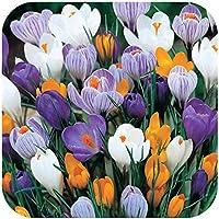 100 Crocus Vernus Mixed Dutch Large Flowering Bulbs Flowering Size by Plug Plants Express Limited