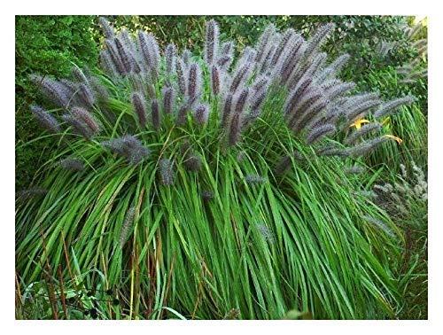 1 x Pennisetum alopecuroides 'Moudry' XXL Topf (Ziergras/Gräser/Stauden) Lampenputzergras 5 Liter Topf -