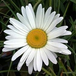 Portal Cool 50+ Margerite Blumensamen/Leucanthem / Kaninchen & rehsicher/Perennial