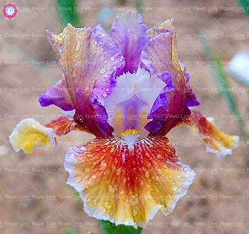 Pinkdose 20 STÜCKE Lila Iris pflanze Schwertlilie pflanze Seltene Iris Phalaenopsis Orchidee Bonsai Blume pflanze Mehrjährige Gartenblume Pflanzen: 10