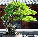Go Garden 1 Beutel = 100 Stücke Japanische Pinus Samen Bonsai Topf Seltene Mini Kiefer Samen Grün Geschenk Diy Home & Amp; Gartendekoration