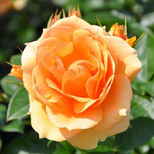 "Beetrose ""Hansestadt Rostock®"" - apricotfarben blühende ADR-Topfrose im 6 L Topf - frisch aus der Gärtnerei - Pflanzen-Kölle Gartenrose"