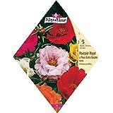 Royal Fleur - Semilla portulaca grandes flores sencilla 1cor.