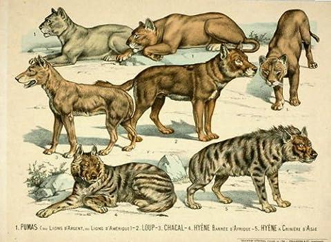 ThePrintsCollector Antique Print- Wolf- Puma-Hyène--Pellerin Epinal - 1890