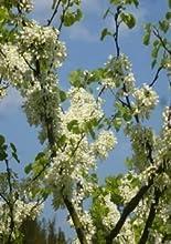 Tropica - Blanco Árbol De Amor ( Cercis siliquastrum alba ) - 50 Semilla