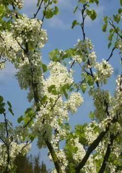 Tropica - Weißer Liebesbaum ( Cercis siliquastrum alba ) - 50 Samen