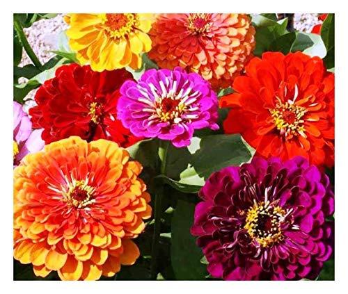 Premier Seeds Direct XE WBEU 5LVG Zinnia Calivornia Giant mix di semi raffinati (confezione da 200)