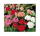 15x Gartengeranien F2 Colouer Show mix - Pelargonium-Samen Garten Blume KS368