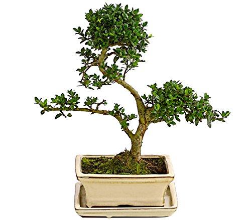 Outdoor-Bonsai – Japanische Stechpalme