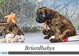 Briardbabys in ihren ersten Wochen (Wandkalender 2020 DIN A3 quer): Zauberhafte Briardwelpen entdecken spielerisch die Welt. (Monatskalender, 14 Seiten ) (CALVENDO Tiere)