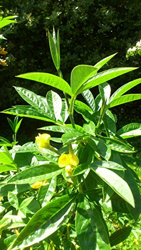 evergreen-laburnum-piptanthus-nepalensis-summer-flowering-shrub-easy-to-grow