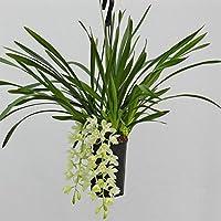 """Cymbidium """"Ice Cascade"""" blanco Semáforo, Orquídeas 3-4 Ramas"""