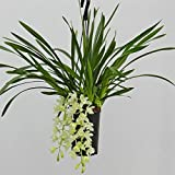 "Cymbidium ""Ice Cascade"" weiß Ampel, Orchideen 3-4 Zweige"