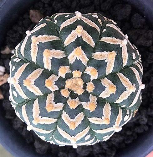 PLAT FIRM GERMINATIONSAMEN: Real Fresh Astrophytum asterias V Typ seltener japanischer Kaktus 10 SEED