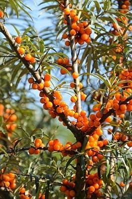 Sanddorn Busch, weiblich, 1 Pflanze von Amazon.de Pflanzenservice bei Du und dein Garten