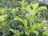 100 Stück Kirschlorbeer 'Etna' - (Prunus lauroc. 'Etna')- Topfware 15-25 cm