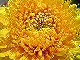 100 Samen - Gelbe Riese Aster Samen Prinzessin Alexandra Annual Blumen schneiden