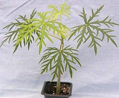 Seeds Paket Nicht NUR S: a Seed Jatropha multifida - Zoll groß halb Laub- succulen C