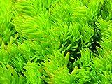 Sedum Lemon Ball - hellgrüne Polster-Fetthenne im Topf 12 cm - in Gärtnerqualität von Blumen Eber