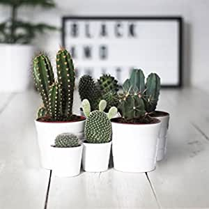 Cactus ornamentali SET DI 6 PIANTE GRASSE VERE 'MEXICO' in vaso 5. 5 cm