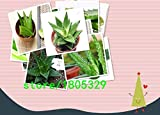 Pinkdose® 200 Graines Aloe Mix - Excellentes plantes d'intérieur succulentes SEED ALOE VERA: mix