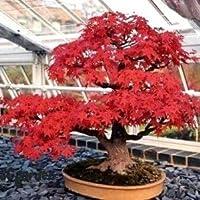 Tatarischer Ahorn 10 Samen (Acer tataricum) -Intensive rote Farbe.