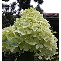 wei/ß Kyushu Limelight Phantom Hydrangea Hortensie auf Stamm 160-180 cm