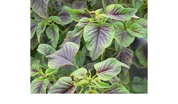 500 Samen Gemüse-Amarant Amaranth Red Army Rotblättriger Fuchsschwanz