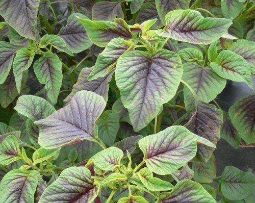 Gemüse-Amarant - Rotblättriger Fuchsschwanz - Amaranth Red Leaf - 300 Samen