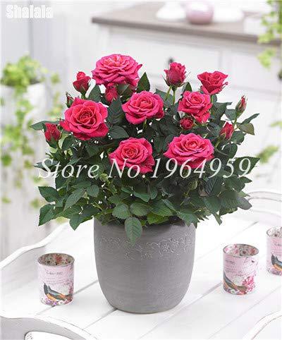 prime vista Bonsai Mini Rose Regenbogen Bonsai Miniatur Rose Bonsais Chinesische Blume Bonsai Topfpflanze Diy Für Hausgarten 100 Teile/beutel: 2
