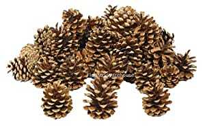 FloristryWarehouse Pine Cones 4-7cm 1Kg (x 55) Dried Natural
