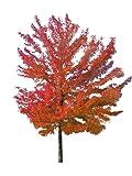 Rot-Ahorn (Acer rubrum) 500 Samen -Winterhart- Wuchshöhen Bis über 30 Meter -Kanadischer Rotahorn-