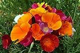 CALIFORNIUM POPPY FLOWER SEEDS (LIVE GREEN)